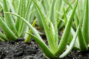 aloe-vera-plants